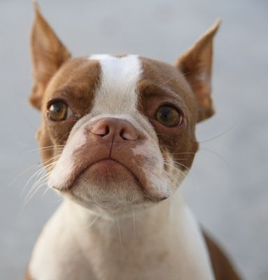 Hundreds of Boston Terrier pics by All-Mighty Clothing, Check it out.
