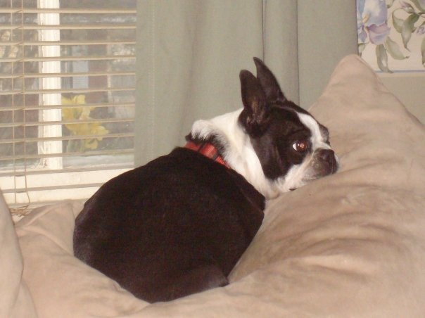 B Is For Boston Terrier 17+ best images about ...