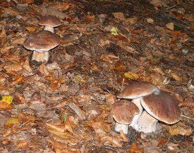 Prawdziwki rosną głównie w lasach iglastych, ale lubią także bory dębowe i bukowe. Kolor kapelusza zależy od miejsca występowania – bywają jasno i ciemnobrązowe. Trzon (nóżka) bywa bulwiasta, ale czasem i wysmukła lub maczugowata