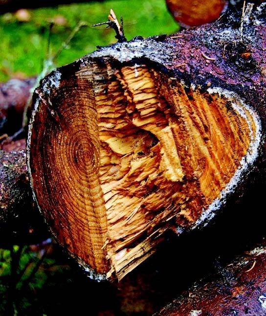 Lad ikke træet ligge for længe i skoven – dårlig tørring i starten gør, at svamp og mug får fat og kan give dårlig brændekvalitet trods gode tørringsforhold senere. Gran og fyr tåler længere ventetid end løvtræer.