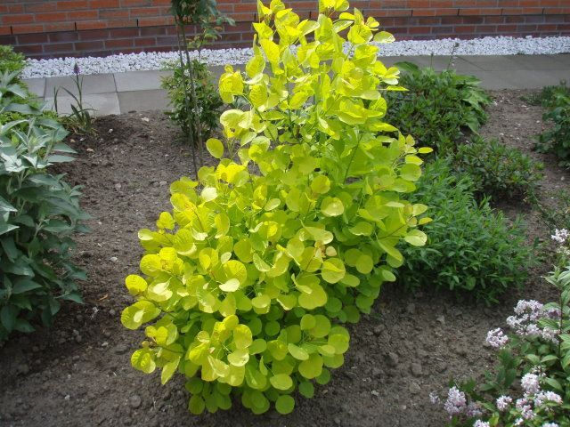 Realistically the size of the one we would plant Cotinus coggygria Golden Spirit®