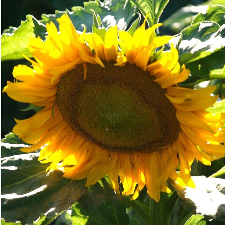 832 best slunenice sunflower images on pinterest flowers resultado de imagem para sunflower fandeluxe PDF