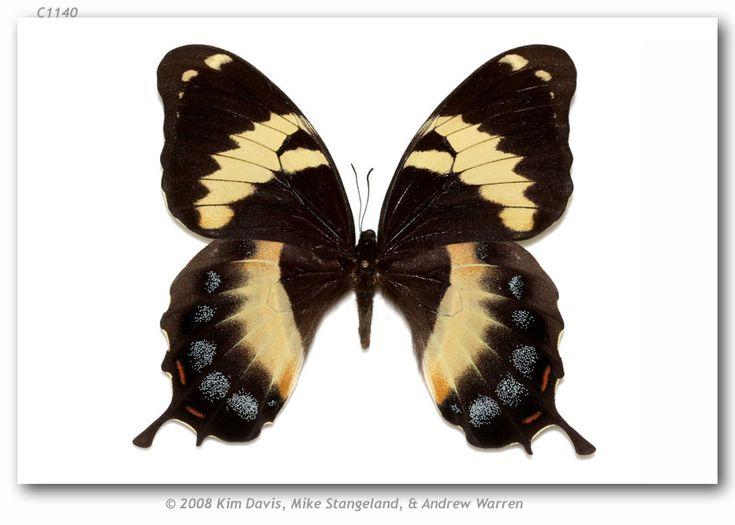 Papilio homerus Fabricius, 1793;   Homerus Swallowtail,   Comments: Jamaica.