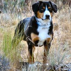 Entlebucher Mountain Dog:: Enthusiastic, loyal, smart; confident but not aggressive. #dogs #pets #ShermanFinancialGroup