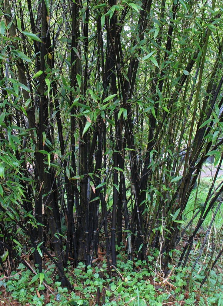 "*All Phylostachys are ""Running Bamboo"" but this one is not aggressive. Phyllostachys nigra, ""Black Bamboo"" is actually NOT A CLUMPING bamboo, and can get larger than 30' if the conditions are right. Need an underground bed border to prevent spread."