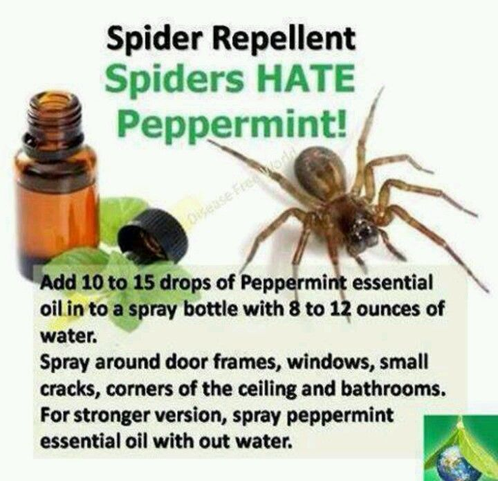 Spider Repellent - I rubbed peppermint oil on the exterior window frames & haven't seen a spider web in months (& they were a daily battle before this!)