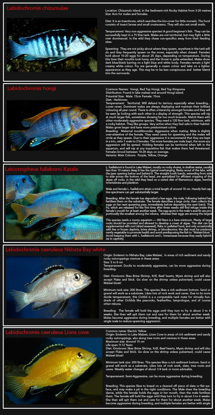 Freshwater aquarium fish bloated - African Cichlids Page 1