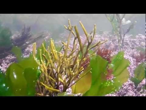 The Seaweed Site :: information on marine macroalgae