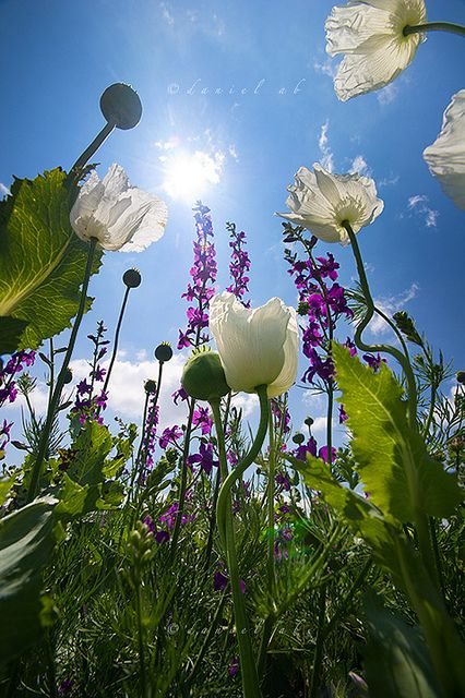 Lovely Flower Garden... Poppies and Digitalis. Love this picture!