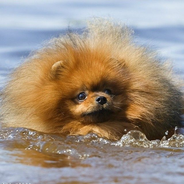 Best Pomeranian Images On Pinterest Puppies Beautiful And Doors - Someone should have told this dog owner that pomeranians melt in water