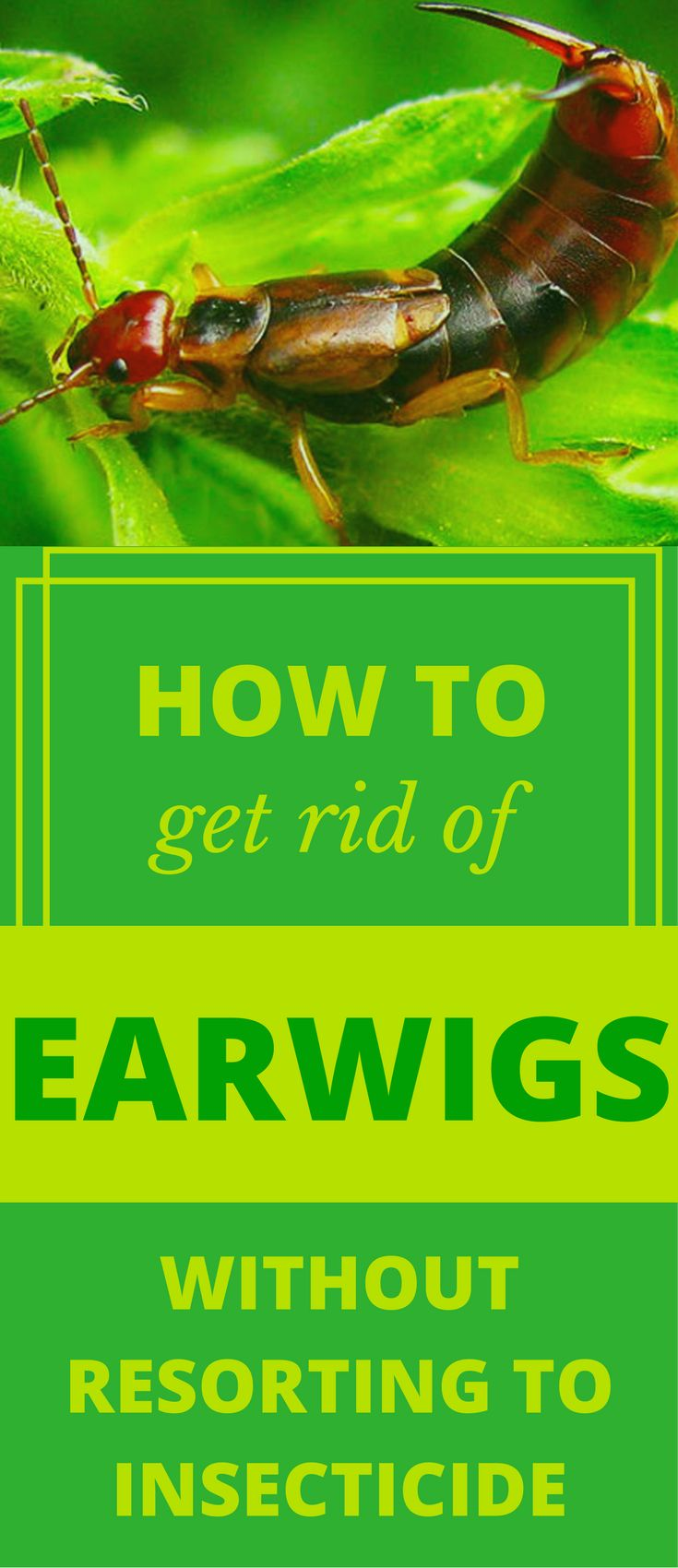 If the problem you are facing is called earwigs, the answer is very simple. Read this article to learn how to get rid of earwigs.