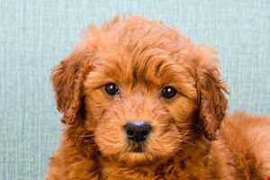 Miniature Goldendoodle puppies for sale | Mixed small breed puppies for sale in Ohio