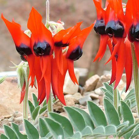 Swainsona formosa - Sturt's desert pea