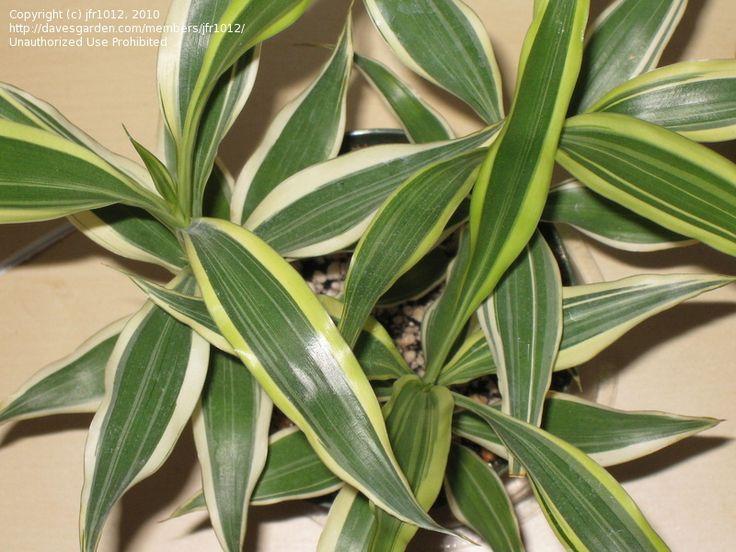 25 Best Lucky Bamboo Plants Ideas On Pinterest Lucky