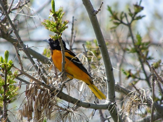 Baltimore oriole in Inglewood area, Calgary.     Get Cheap Baltimore Orioles Tickets Here and Save!  All Baltimore Orioles Tickets Have Been Reduced!  http://craigslisttickets.biz/ResultsEvent.aspx?event=Baltimore+Orioles=92