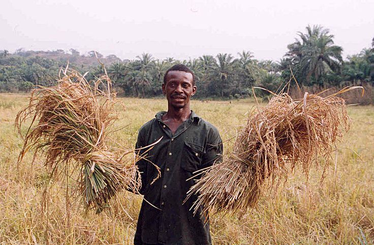 A farmer with his rice harvest in Sierra Leone. Two-thirds of Sierra Leone's population are directly involved in subsistence agriculture.[95]