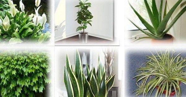 Wielu ludzi myśli, że rośliny które trzymamy w domach i mieszkaniach są po to by zdobić i dostarczać nam świeżego tlenu. Jednakże faktem jest również to że mają wiele innych pozytywnych stron na pr…