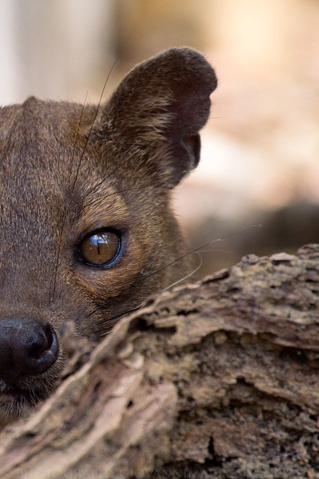 57 best images about | Madagascar | Animals on Pinterest ...