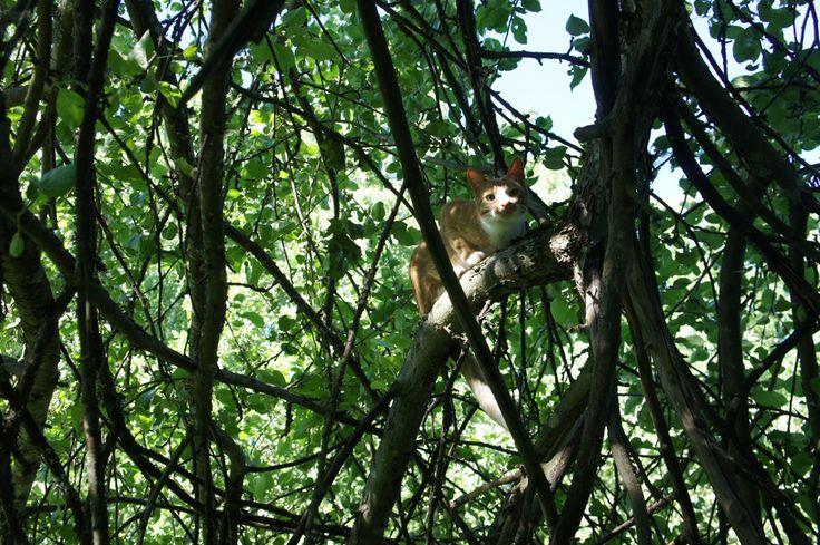 Cat in an apple tree. Midsummer, Karjalohja 2013.