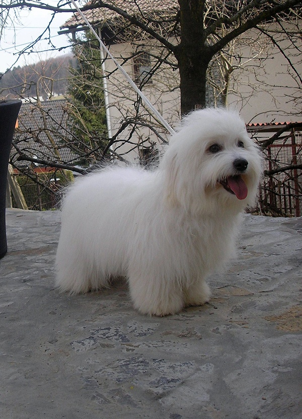 Keeping this in mind for when i take my #Cotons to the groomer #cotondetulear