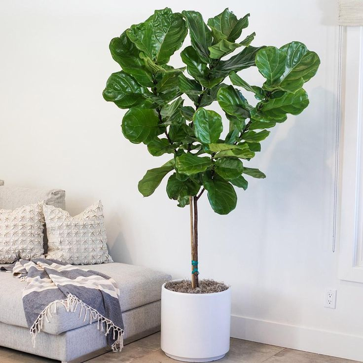 Ficus Lyrata Fiddle Leaf Fig X Large Ficus Lyrata Ficus Tree Care Fiddle Leaf Fig
