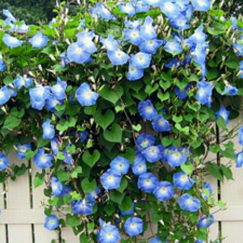 Morning Glory Blue  Isi 15 benih (harga 10rb)  Sms/wa 085777119992  Pin bb id silky 54732db8 Line id silkynazma  Hanya di @amefurashii banyak benih unik & murah  #bibitmorningglory #benihmorningglory #morninggloryblue #benih #benihbunga #bibitbunga #benihtanaman #bibitimport #anekatanamanhias #tanamanhias #tanamanbunga #bibitmurah #bibitunik #benihlangka #bibitlangka #benihunik #tanamanunik #benihbungamurah #benihbungaimport  #ipomoea #benihipomoea #bibitipomoea