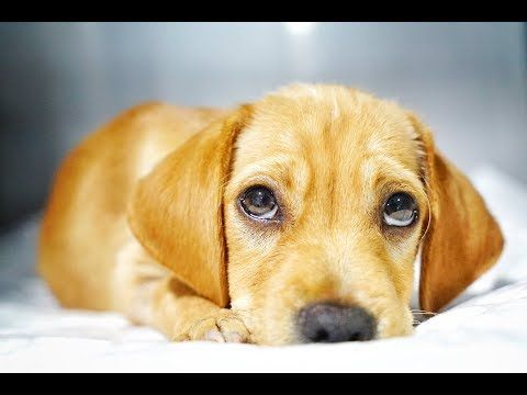 Youtube Melanie Kotze Pinterest Cute Labrador Puppies Puppies