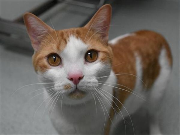 """<h4><b>What my friends at OHS say about me:</h4></b><ul style=""""list-style-type:circle""""><li> I came all the way to OHS through the <a href=""""https://www.oregonhumane.org/adopt/second-chance"""">Second Chance Program</a>.<li>I would love to have a playmate that is equally as energetic as me! I love playing with other cats and dogs.<li>I am not one to sit still! I will love in..."""