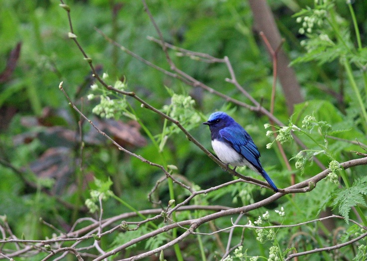 a blue-and-white flycatcher in yamagata, japan