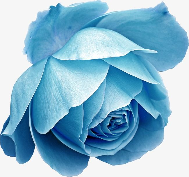 Blue Rose Png And Clipart Blue Flower Png Flowers Digital Flowers
