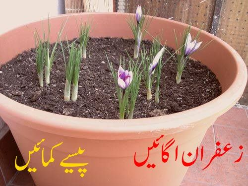 How To Grow Saffron Plant At Home urdu hindi