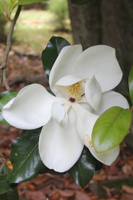 fairy tales are true Rowan Oak// William Faulkneru0027s home // Oxford MS & 134 best Magnolias images on Pinterest | Magnolias Magnolia trees ...