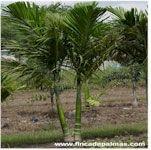 Tipos De Palmas | Palma Abanico Chino