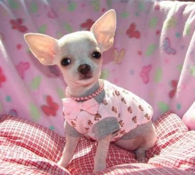 teacup chihuahua coloring pages - 25 best ideas about baby chihuahua on pinterest teacup