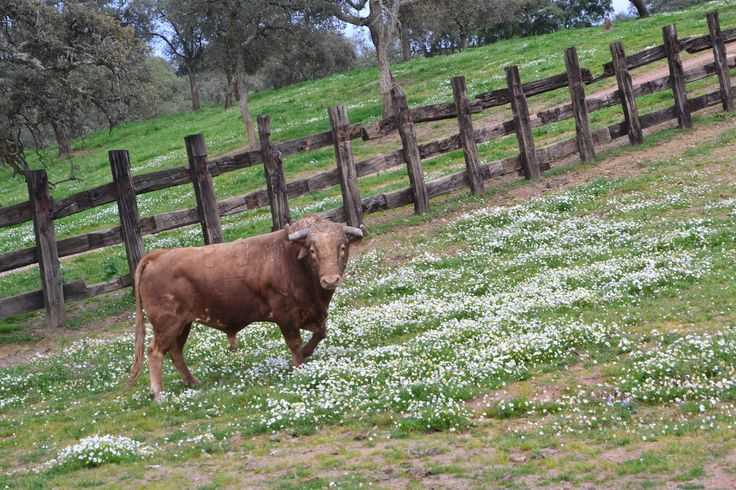 Toro lidia  Rosal de la frontera