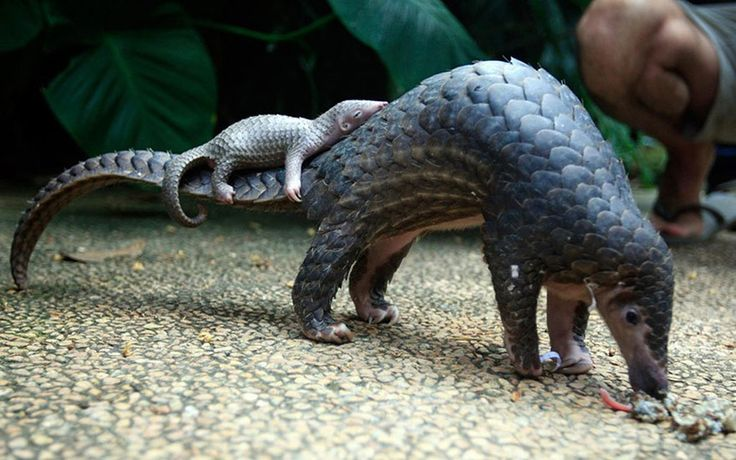 """Pangolin carrying her baby at the Bali Zoo. Pangolins.org notes that the creatures are also called """"scaly anteaters."""""""
