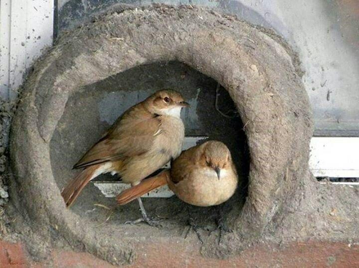 La pareja de hornear os se toma un descanso para después continuar su labor en el nido.