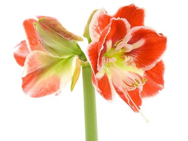 Zwartnica (Hipeastrum) - popularna cebulowa roślina doniczkowa