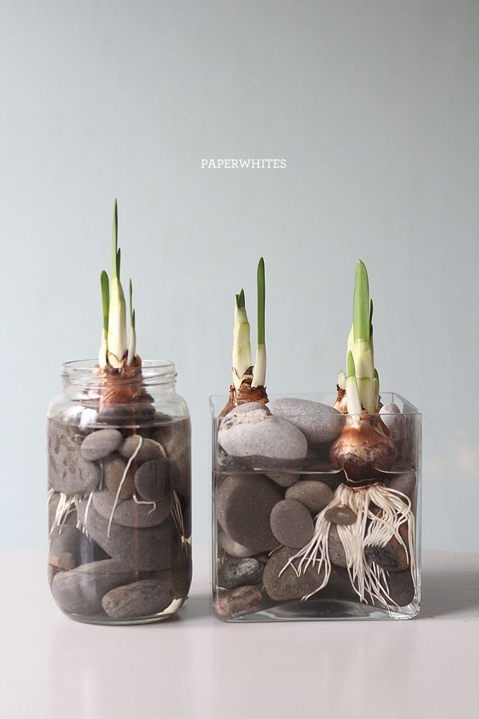 winter activity, growing paperwhites - must do this next year. so pretty.