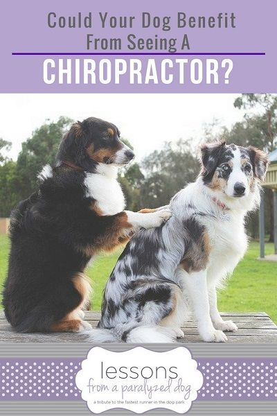 Dog massage is one of the treatments a veterinary chiropractor can do to heal dogs and cats with spine problems.