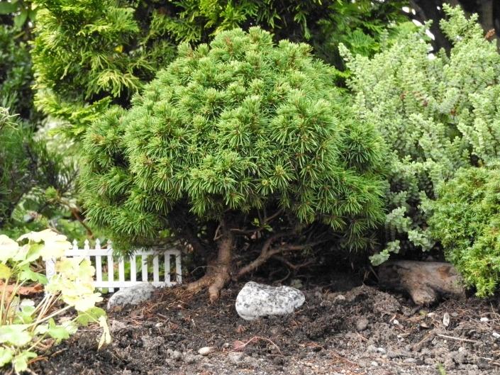 Elf Dwarf Spruce for the Miniature Garden