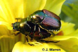 japanese beetle control.  They do not like chives or garlic!  Plant near flowers!