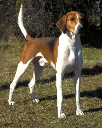 The English Coonhounds are very intelligent, loyal and active.