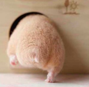 Japan is so obsessed with hamster butts, that Japanese Hamster butts are taking over the cyber-world!!  #Japan   #hamuketsu   #hamsterbutt   #adorableanimals   #cuteanimals   #kawaii   #hamster #ass lol