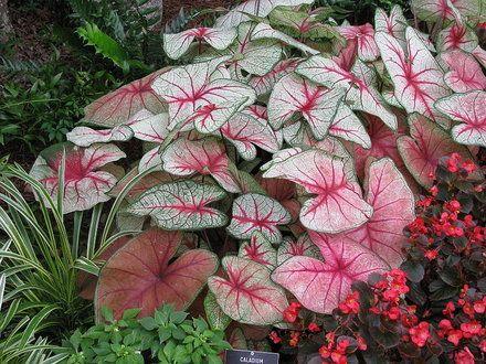 How to Care for a Caladium | Garden Guides