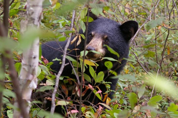 black bear-opeongo road algonquin by susan shipman