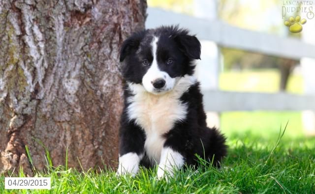 Border Collie Puppy For Sale In Pennsylvania Collie Puppies Border Collie Puppies Collie Puppies For Sale
