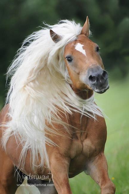 'Haflinger-Action' - Chestnut Horse