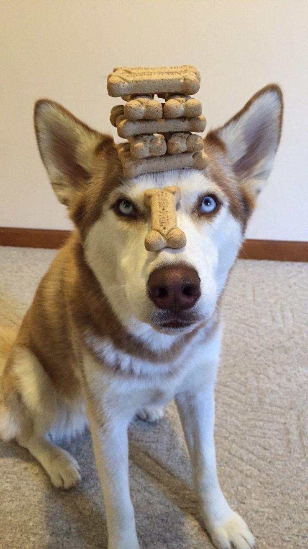Siberian husky with talent