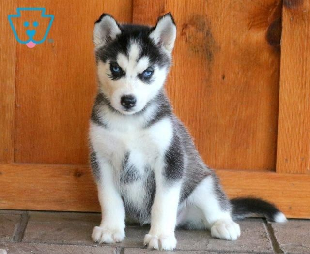 Rose Husky Puppies For Sale Puppies For Sale Husky Puppy